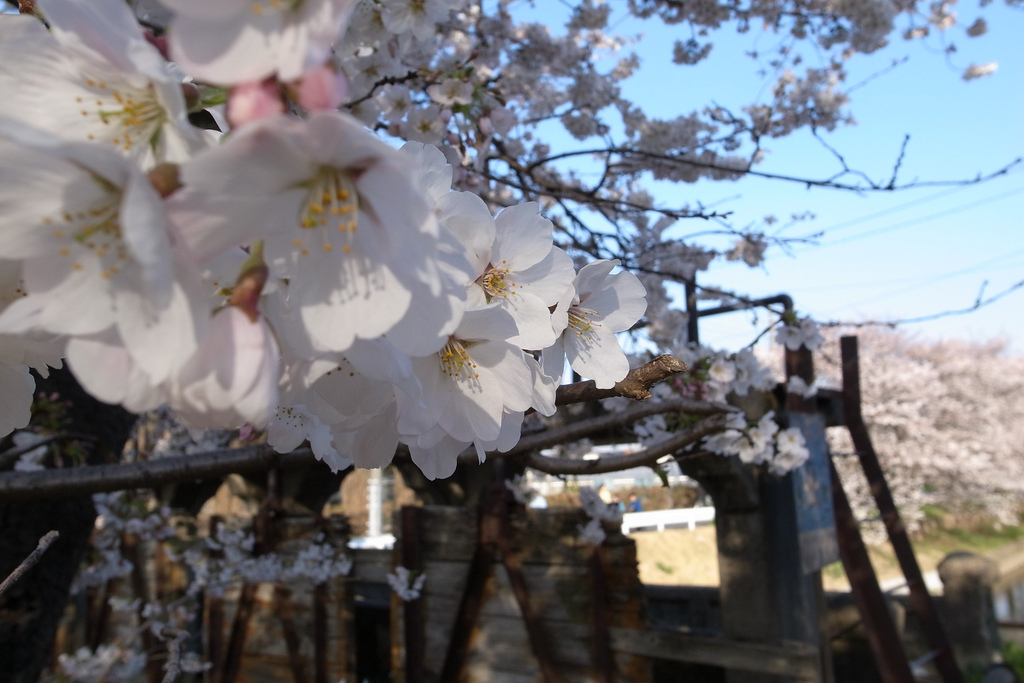 春の桜巡る川越