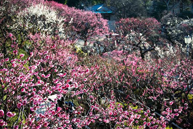 大森駅から春を感じる!池上梅園・梅めぐりコース