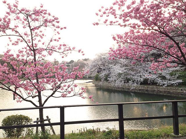 日本のさくら名所100選・三ツ池公園の桜を見に行ってみよう!
