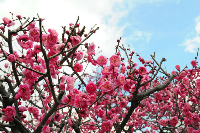 【堺市】弥生文化博物館から1400本の梅が咲く荒山公園まで歩いてみよう!