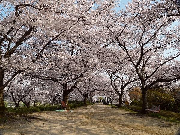 妙見の桜並木