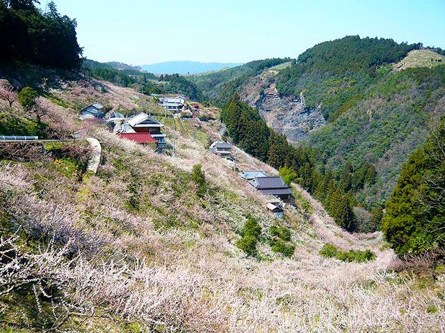【五條市】重要伝統的建造物群保存地区・大和新町から2万本の梅が咲く賀名生梅林まで歩いてみよう!